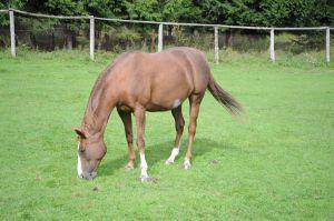THE Pferd